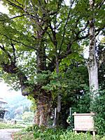 天神社のトチノキ