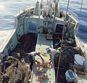 松葉ガニ漁